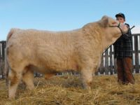 Livestock & Accessories Char and Simm Bull Sale
