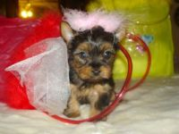 Livestock & Accessories T-cup yorkie pupy for sell
