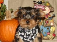 Pets / Pet Accessories cute  Yorkie  Puppies for rehoming