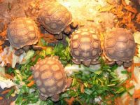 Pets / Pet Accessories Healthy Tortoises an Turtles