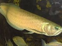 Livestock & Accessories Quality Super Red Arowana Fish and Many Others Available
