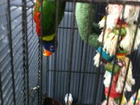 Pets / Pet Accessories Rainbow Lorikeet