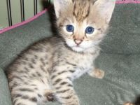 Pets / Pet Accessories exotic serval, caracal, bengals and savannah (F1, F2 and F5)