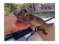 Other Kinkajou available