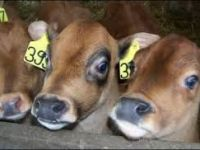 Livestock & Accessories jersey Bottle Calves For Sale Text (302) 524-7784