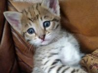 Pets / Pet Accessories Savannah kittens available