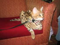 Pets / Pet Accessories f3 Savannah kittens for adoption
