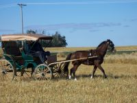 Livestock & Accessories Buggy Horse Wanted