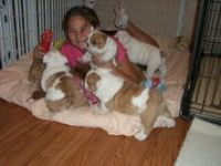 Shop English Bulldog puppies for adoption,,, text or call 940 324