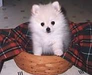 Shop Pomeranian puppies for your home