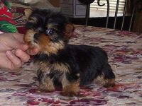 Shop Yorkie Terrier  puppies for adoption