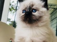 Pets / Pet Accessories Nice Himalayan kittens for sale