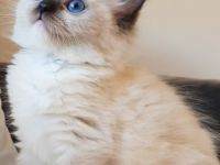 Pets / Pet Accessories Male & Females Siamese Kittens