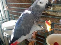 Pets / Pet Accessories Sweet and lovely African grey parrots for sale