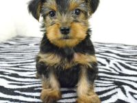 Pets / Pet Accessories Precious Teacup Yorkie puppies available