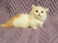 Pets / Pet Accessories standard short leg munchkin kitten