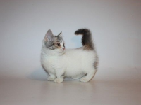 Pets / Pet Accessories standard short leg munchkin cat for sale
