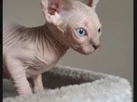 Pets / Pet Accessories Blue Female Sphynx Kittens For Sale