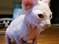 Pets / Pet Accessories Cream White SPHYNX Kittens for Sale