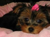 Pets / Pet Accessories little Annie Yorkie