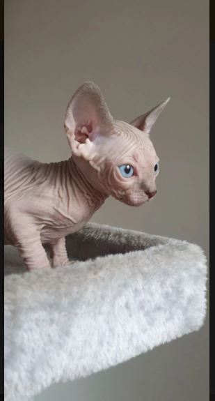 Blue Female Sphynx Kittens For Sale in Montreal WI   Pets